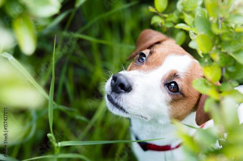 Fotografia jack russel terrier summer
