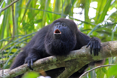 Spoed Foto op Canvas Aap Black howler monkey, aluatta pigra, sitting on a tree in Belize jungle and howling like crazy. They are also found in Mexico and Guatemala. They are eating mostly leaves and occasional fruits.