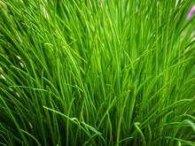 Wild Meadow Green Grass