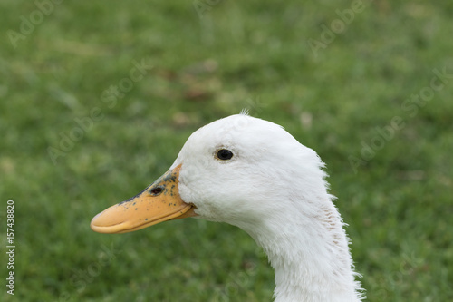Portrait of a white duck Poster