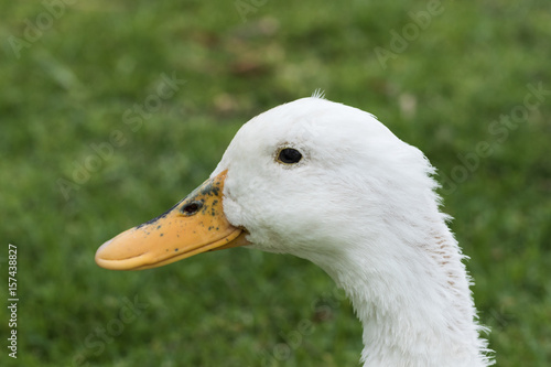 Photo  Closeup of a white duck