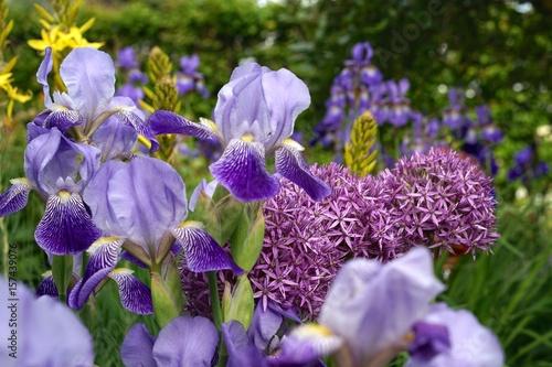 Iris 'neglecta' mit Junkerlilie und Zierlauch im Staudenbeet