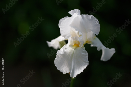 Foto auf AluDibond Iris White iris flower close up photo