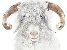 Goat Angora Breed Farm Animal ...