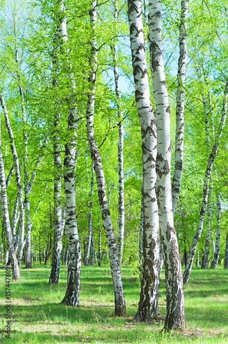 Fototapeta drzewa brzozy-na-polanie