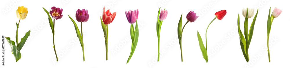 Fototapety, obrazy: Different kinds of tulips on white background