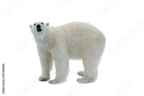 Foto op Plexiglas Ijsbeer Polar bear isolated on white