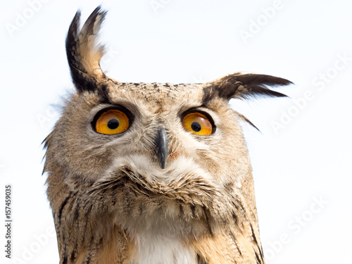 Close up portrait of an eagle owl (Bubo bubo) isolated on white background with a funny expression
