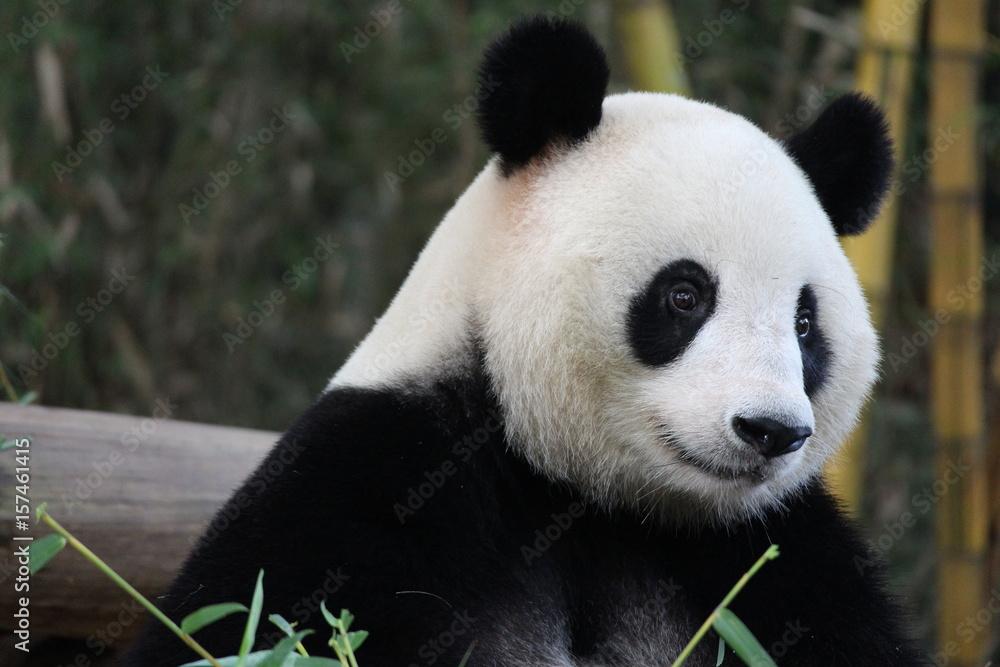 Playful female panda in Guangzhou,China