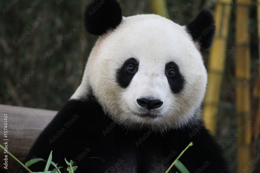 Playful female panda in Guangzhou,China