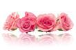 Róże czerwone różowe izolowane na białe tło odbicie lustrzane