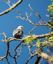 Mississippi Kite In Tree