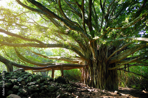 Branches and hanging roots of giant banyan tree growing on famous Pipiwai trail Wallpaper Mural