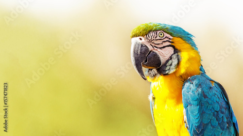 Autocollant pour porte Perroquets Blue and Yellow Macaw With Copy Space