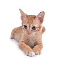 Orange Kitten  On A White Back...