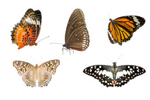 Various Butterfly Isolated On White Background With Clipping Path