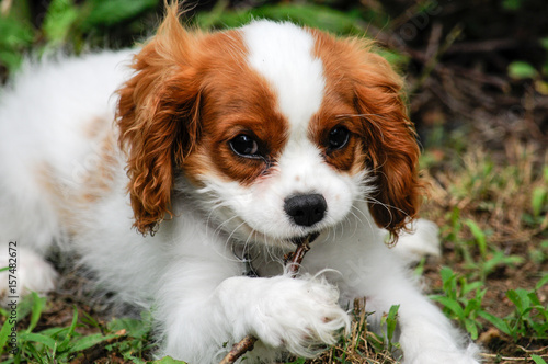 Photographie  Cavalier King Charles Spaniel