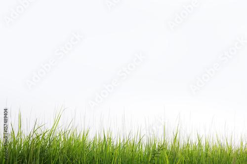 Obraz reeds grass isolated on white background - fototapety do salonu