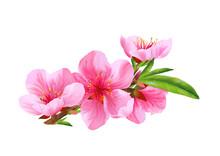 Flowers Of Peach. Vector.