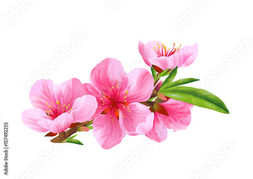 Photo  Flowers of peach. Vector.
