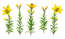 Yellow Lilies With Green Stem ...