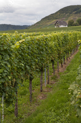 Vineyard Near the river Moselle Germany Europe