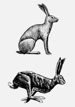 Rabbit Or Hare Sitting And Run...