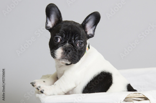 Foto op Canvas Franse bulldog French bulldog puppy playing