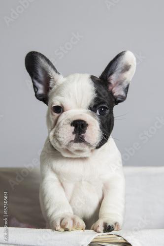 Foto op Plexiglas Franse bulldog French bulldog puppy playing