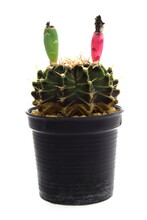 Cactus Seed Pods Isolated On W...