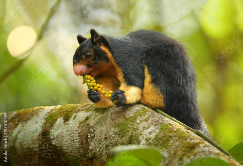 Vászonkép Close up photo black and yellow Sri Lankan Giant Squirrel, Ratufa macroura sitting on branch and feeding on fruit berries holding in front paws