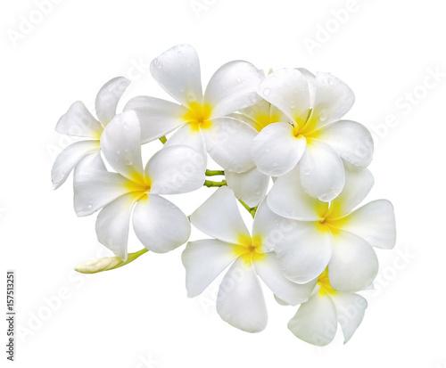Keuken foto achterwand Frangipani white frangipani (plumeria) flower with water drops isolated on white background