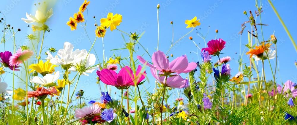Fototapety, obrazy: Blumenwiese - Hintergrund Panorama - Sommerblumen