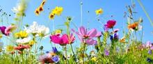 Blumenwiese - Hintergrund Pano...