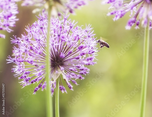 Printed kitchen splashbacks Purple close-up of blooming purple ornamental onion