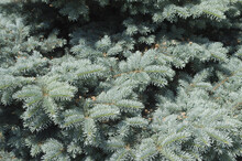 Background Of Christmas Tree Branches, Blue Spruce