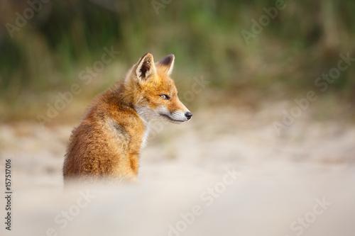 red-fox-cub