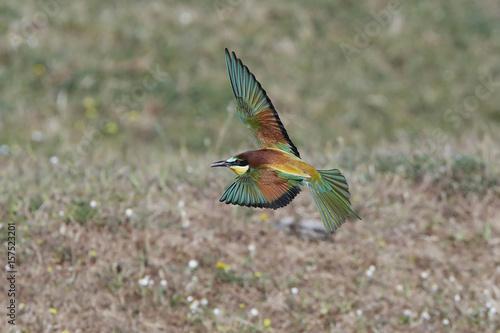 Fotografie, Obraz  European bee-eater (Merops apiaster)