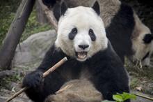 Chengdu Research Base Of Giant Panda Breeding, Chengdu, Sichuan Province, China