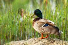 Portrait Of Mallard Duck Outdoors.