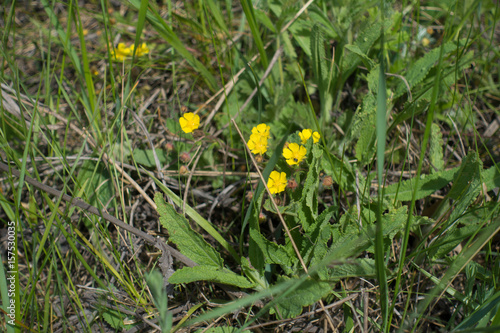Valokuva  Flowering plant of Potentilla in meadow in spring