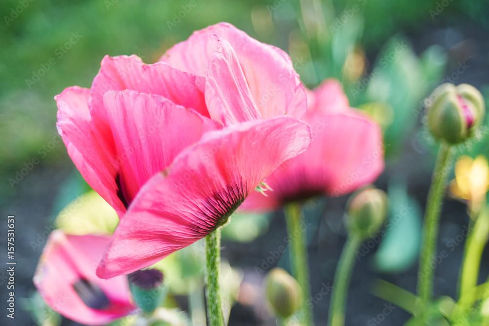 Pink Poppy Flowers Outdoors Foto Poster Wandbilder Bei Europosters