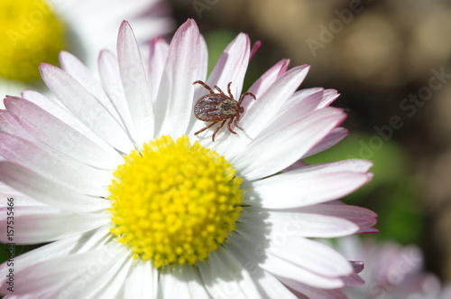 Tick (lat. Acarina) on a Daisy flower Canvas Print
