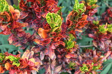 Colorful Plant, Mammy Croton P...