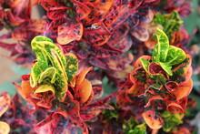 Colorful Plant, Mammy Croton PLant