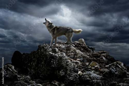 Photo sur Toile Loup A lone wolf sings his song on top at night