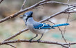 blue-jay perched on a branch looking to the side