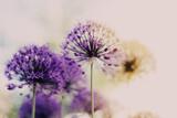 Flower purple sunrise - 157558231