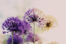 Flower Purple Sunrise