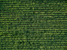 Aerial View Sugarcane Plantation Top View Nature Background.
